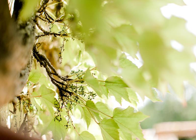 Vigne vierge domaine de la Genetière beaujolais